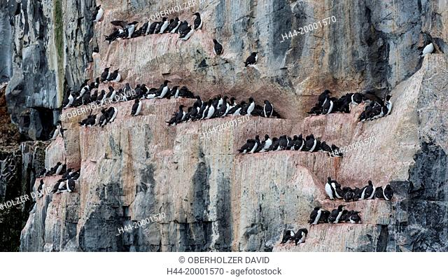 Spitsbergen, Svalbard, Alkefjellet, thick-billed murre, uria lomvia