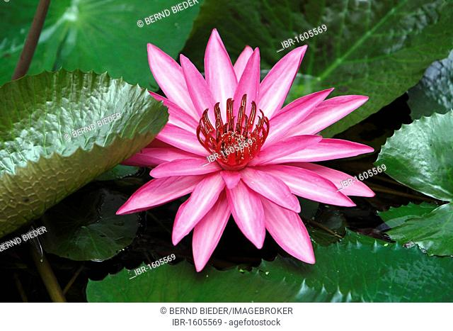 Water Lily (Nymphaea), Vietnam, Southeast Asia, Asia
