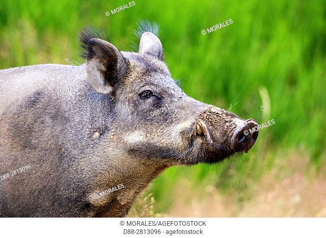 France, Haute Saone, Private park, Wild Boar (Sus scrofa), sow