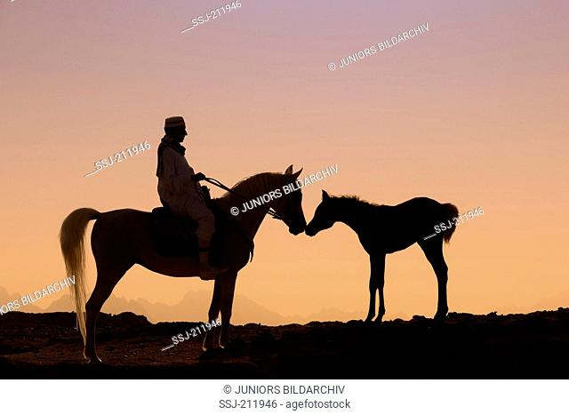 Arab Horse. Rider on gray mare standing in the desert. The mare is sniffing at her foal. Egypt