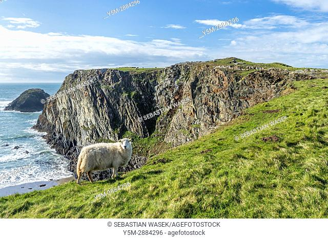 Traeth Llyfn seen from Pembrokeshire Coast Path from Abereiddy to Porthgain, Pembrokeshire Coast National Park, Abereiddy, Wales, United Kingdom, Europe