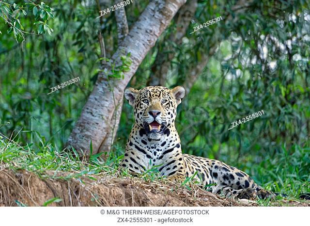 Jaguar (Panthera onca) lying on a river bank, Cuiaba river, Pantanal, Mato Grosso, Brazil