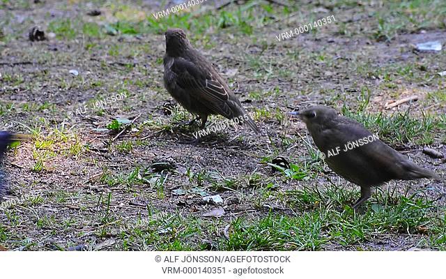 Starling feeding young birds