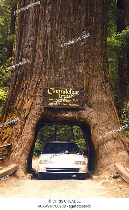 Giant Sequoia tree with car passing through, Kings Canyon, California, USA