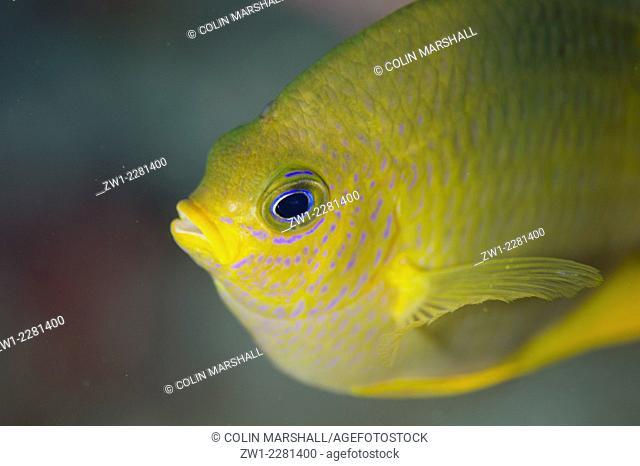 Lemon Damsel (Pomacentrus moluccensis), Golden Passage dive site, Gili Lawa Darat Island, north of Komodo Island, Komodo National Park, Indonesia