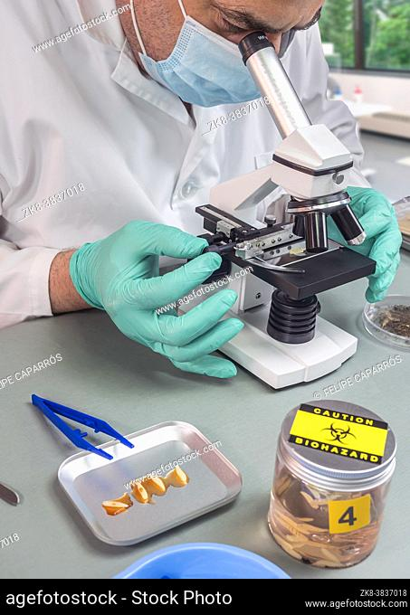 Forensic scientist analyses larvae from a cadaver in a murder case in crime lab, conceptual image