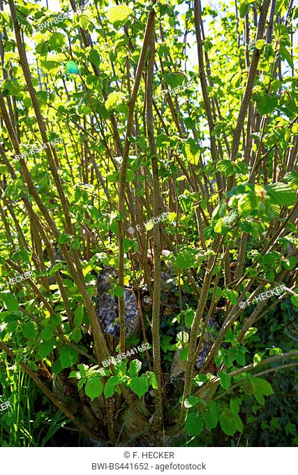 Common hazel (Corylus avellana), growth from the stump, Germany
