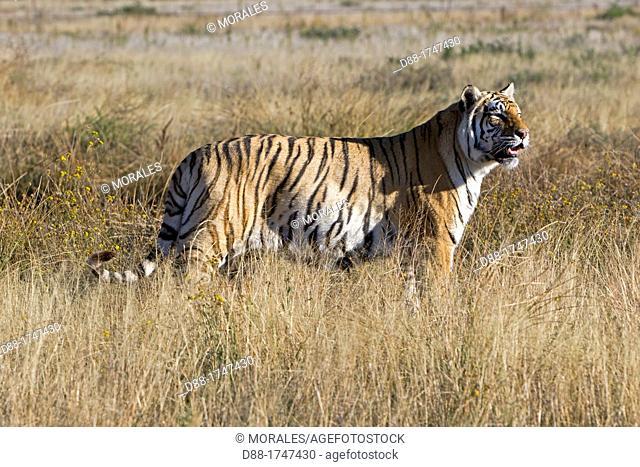Asian Bengal Tiger (Panthera tigris tigris), private reserve