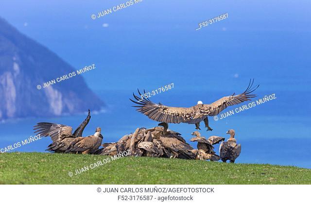 Griffon vultures (Gyps fulvus), Mount Buciero, Santoña, Cantabria, Spain
