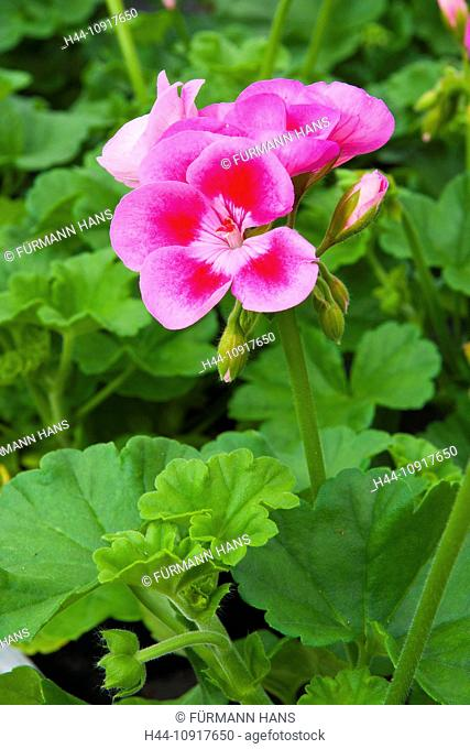 Europe, Germany, Bavaria, Upper Bavaria, Rupertiwinkel, Berchtesgaden country, Chiemgau, flower, flowers, blossom, blossoms, garden, garden flower