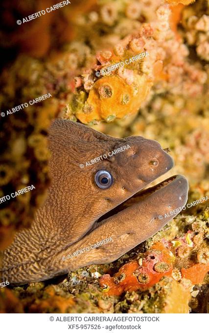 Moray eel, morena, Cabo Cope-Puntas del Calnegre Natural Park, Mediterranean Sea, Region de Murcia, Murcia, Spain, Europe
