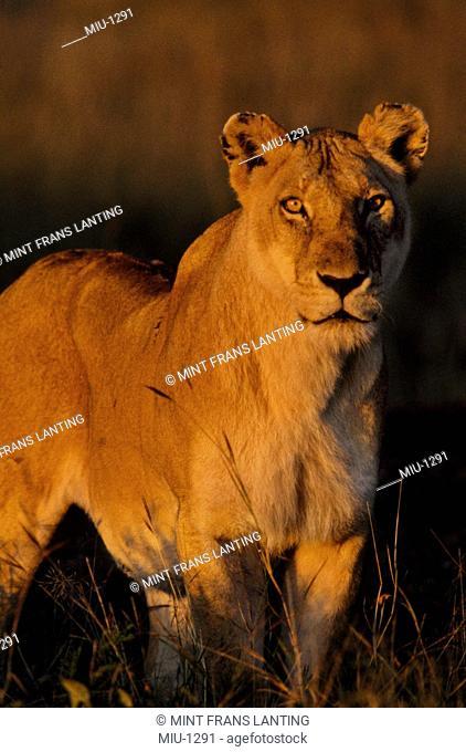 Lioness, Panthera leo, Masai Mara Reserve, Kenya