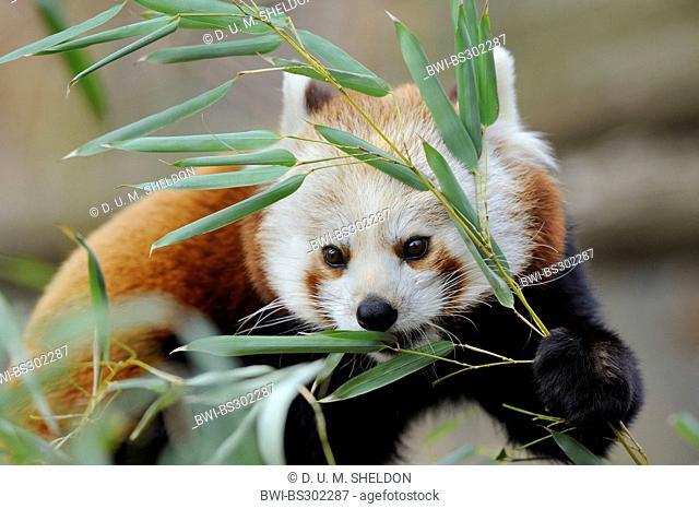 lesser panda, red panda (Ailurus fulgens), feeding bamboo