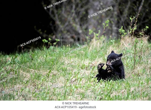 Black Bear, Ursus americanus, Cubs, Alberta, Canada