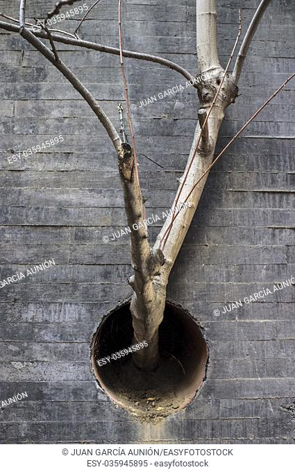 Fig tree plant growing out of concrete wall through drainpipe hole. Forge your way concept