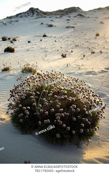 Armeria pungens in a sand dune, Doñana National Park, Huelva, Andalusia, Spain Europe