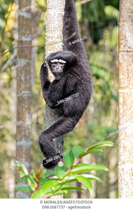 South east Asia, India, Tripura state, Gumti wildlife sanctuary, Western hoolock gibbon (Hoolock hoolock), adult male
