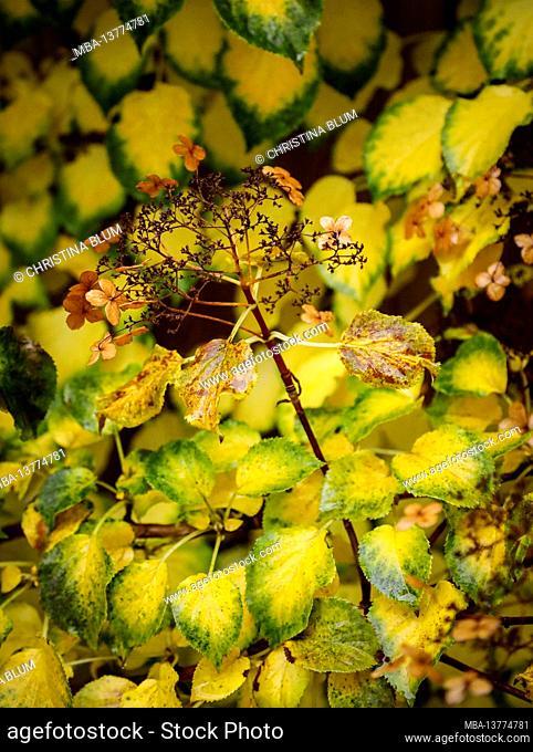 Leaves of climbing hydrangea in autumn