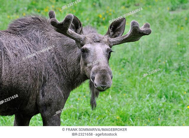Moose or Eurasian Elk (Alces alces), bull with antlers in velvet, captive, Thuringia, Germany, Europe, PublicGround
