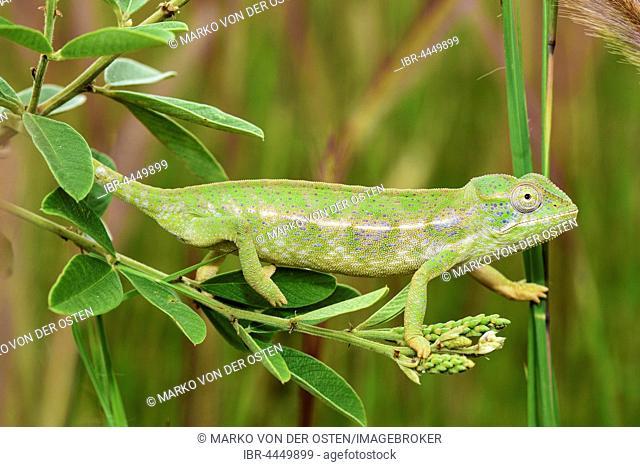Carpet chameleon (Furcifer lateralis), female, Isalo National Park, Madagascar