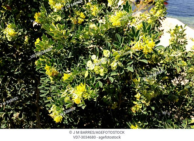 Alfalfa arborea (Medicago citrina or Medicago arborea citrina) is an endangered species of shrub endemic to Columbrets Islands and some Balearic islets