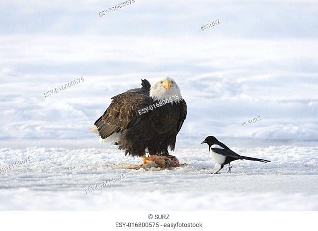 Fitting Bald Eagle and a magpie on The Snow