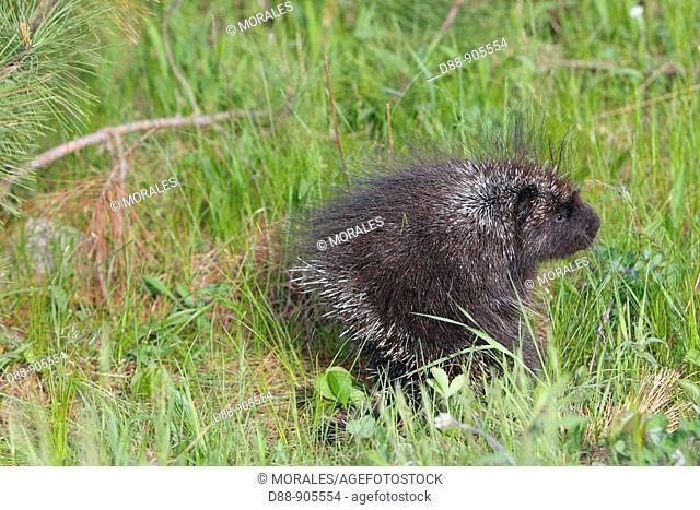 North American Porcupine (Erethizon dorsatum). Minnesota, USA