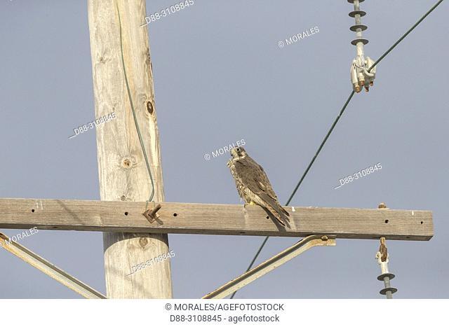 Central America, Mexico, Baja California Sur, Guerrero Negro, Ojo de Liebre Lagoon (formerly known as Scammon's Lagoon), Peregrine falcon (Falco peregrinus)