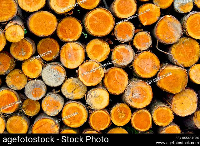 Felled Trees Trunks, Hayedo de Otzarreta, Otzarreta Beech Forest, Gorbeia Natural Park, Bizkaia, Basque Country, Spain, Europe