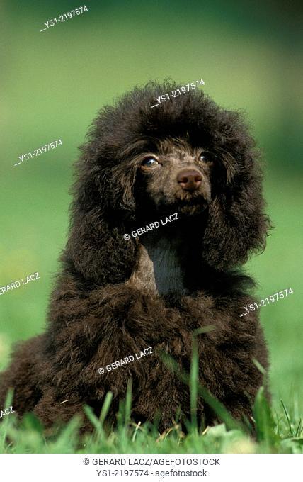 Black Standard Poodle, Dog sitting on Grass