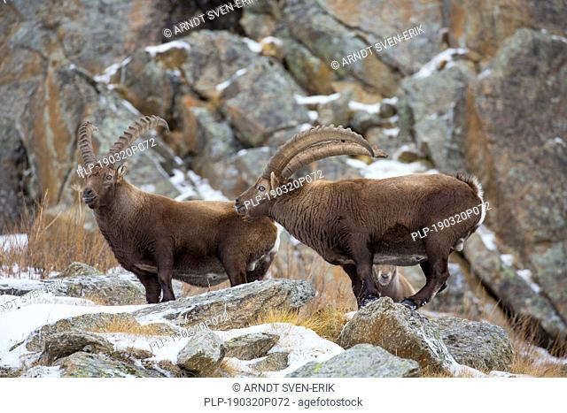 Two male Alpine ibexes (Capra ibex) with big horns foraging in rock face in winter, Gran Paradiso National Park, Italian Alps, Italy