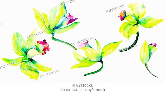 Wildflower narcissus flower in a watercolor style isolated. Full name of the plant: narcissus. Aquarelle wild flower for background, texture, wrapper pattern