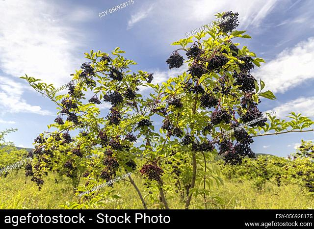 Elderberry orchard in Tokaj region, Northern Hungary