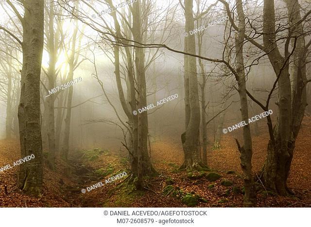 Beech tree forest at Tobía valley, La Rioja Wine region, Spain