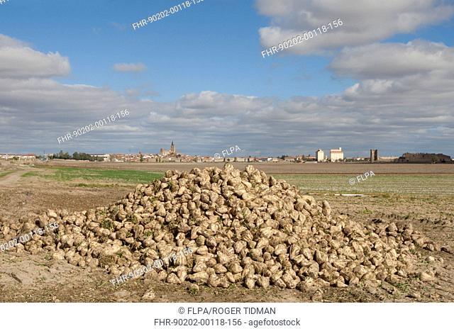 Sugar Beet Beta vulgaris crop, heap of harvested roots, with village in background, Madrigal de las Altas Torres, Avila Province, Castilla y Leon, Spain