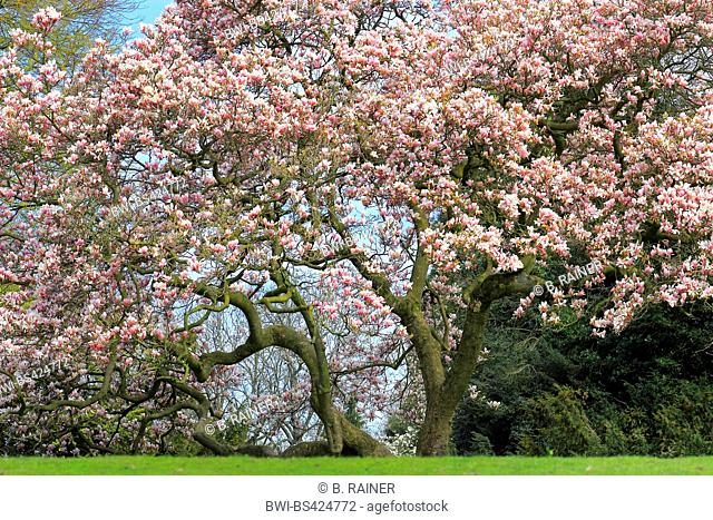 saucer magnolia (Magnolia x soulangiana, Magnolia soulangiana, Magnolia x soulangeana, Magnolia soulangeana), blooming in a park, Germany