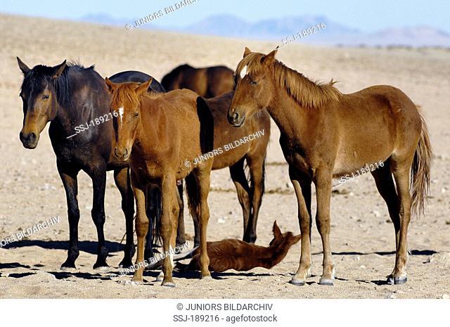 Namib Desert Horse (Equus ferus caballus). Group in Garub Pan, Namib Desert, Naukluft National Park, Namibia