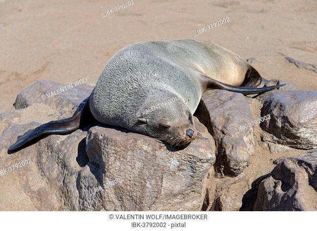 Brown Fur Seal or Cape Fur Seal (Arctocephalus pusillus) sleeping on a rock, Dorob National Park, Cape Cross, Namibia