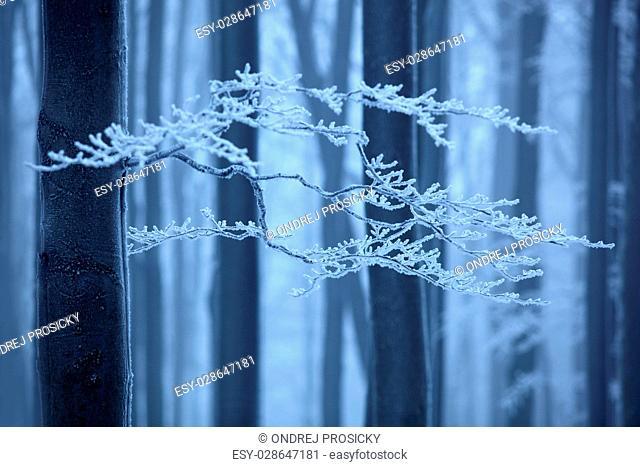 Blue and white Winter landscape in czech beech tree