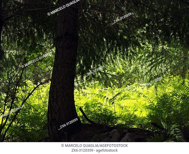 Backlit Fir tree (Abies alba) and ferns (Pteridium aquilinum). Montseny Natural Park. Barcelona province, Catalonia, Spain