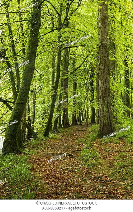 Broadleaf woodland in autumn at Hembury Woods in Dartmoor National Park, Devon, England