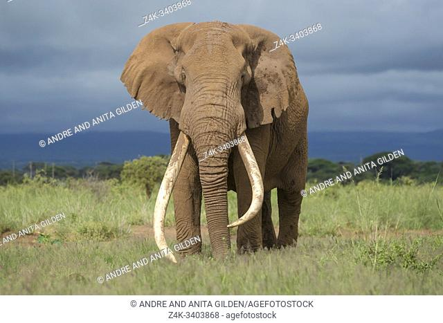 African elephant (Loxodonta africana) bull with large tusk, standing on savanna, looking at camera, Amboseli national park, Kenya