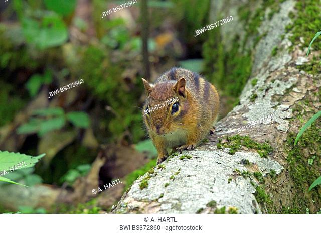 Eastern American chipmunk (Tamias striatus), sitting on a mossy tree trunk, USA, Tennessee, Great Smoky Mountains National Park