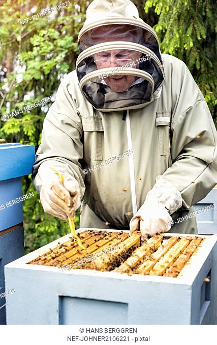 Beekeeper examining honeycomb