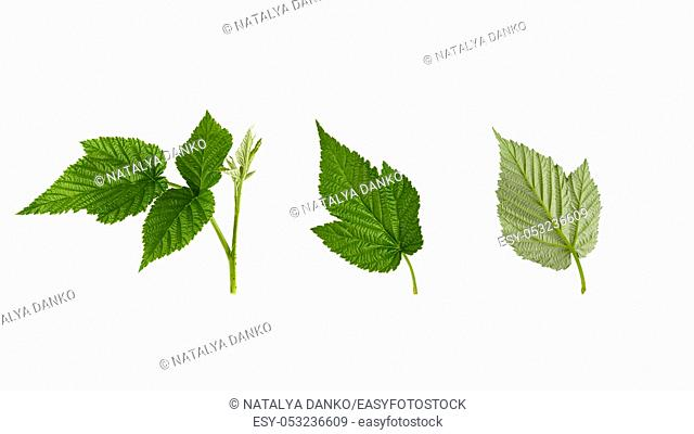 set of fresh green raspberry leaves isolated on a white background, young shoot