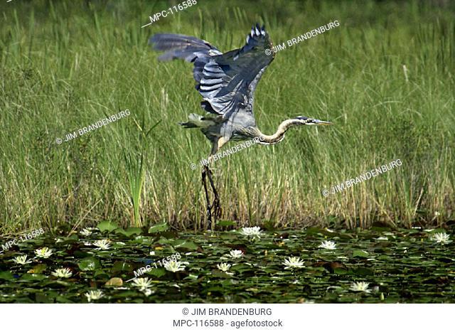 GREAT BLUE HERON (Ardea herodias) TAKING FLIGHT FROM LILY POND, NORTH WOODS, MINNESOTA