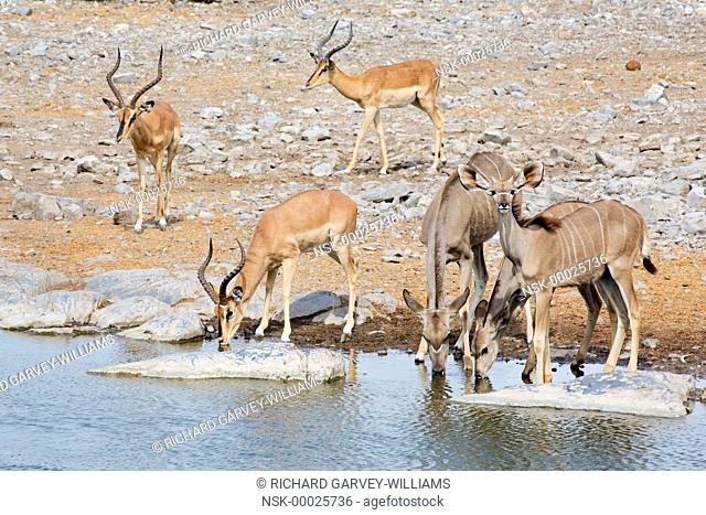 Greater kudu (Tragelaphus stepsiceros) and black-faced impala (Aepyceros melampus petersi) stags coming to waterhole to drink, Namibia, Etosha National Park
