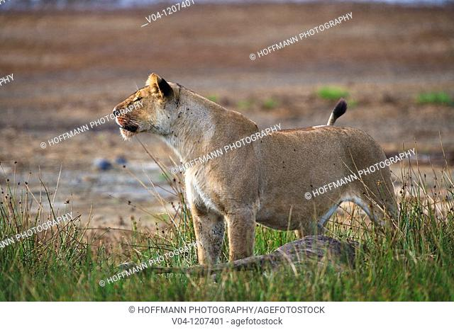 A lioness (Panthera leo) guarding her kill in the Serengeti National Park in Tanzania, Africa