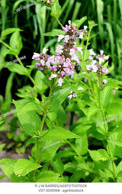 Nepeta (Nepeta subsessilis) is a perennial herb native to Japan
