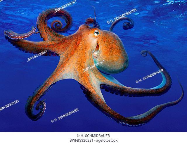 common octopus, common Atlantic octopus, common European octopus (Octopus vulgaris), laughing